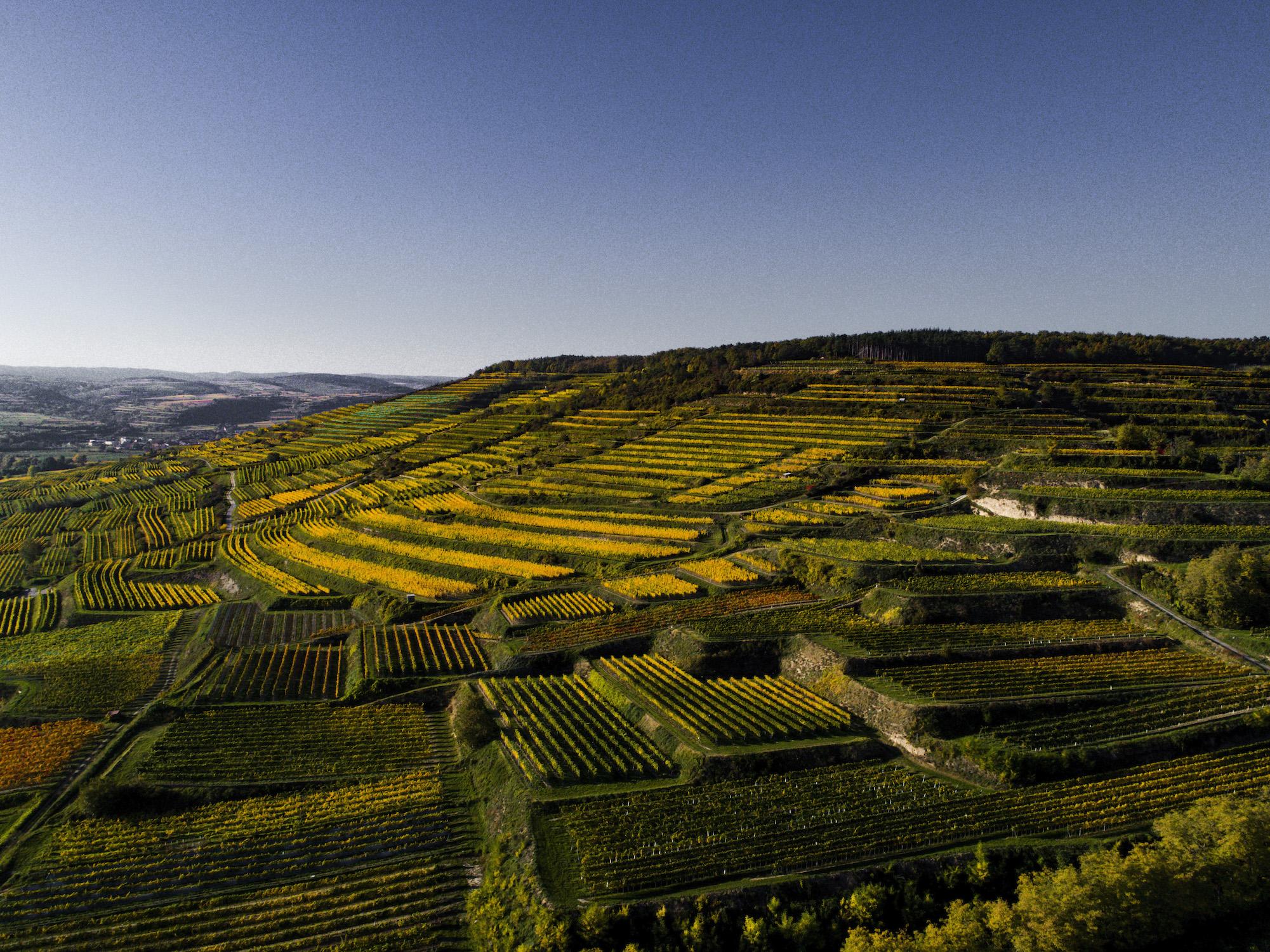 """Weingärten der Familie Bründlmayer, mit den Lagen """"Zöbinger Heiligenstein"""" und """"Kammerer Lamm"""""""
